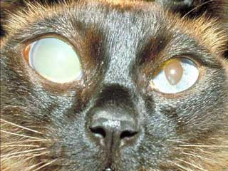 When Does Chronic Glaucoma Cause Eye Pain Cats